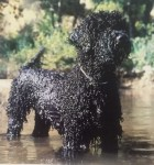 Toraq Portuguese Water Dogs Kennel logo